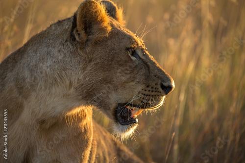 Deurstickers Afrika lion in africa