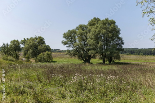 Foto op Plexiglas Blauwe hemel Landscape of summer nature with green glade, flower, forest and big White willow or Salix alba tree, Sredna Gora mountain, Ihtiman, Bulgaria