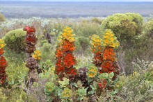 Hakea Victoria In Its Natural Environment In The Fitzgerald River National Park Endemic To Western Australia