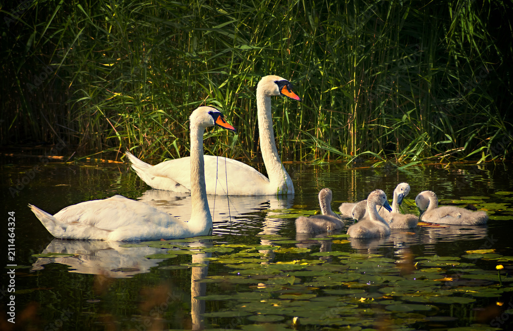 Family of mute swans with young chicks