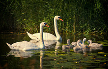 Family Of Mute Swans With Youn...
