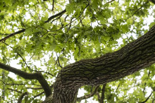Green leaves on an oak branch.