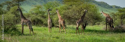 Staande foto Giraffe Panorama of five Masai giraffe browsing bushes