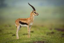 Thomson Gazelle Standing In Pr...