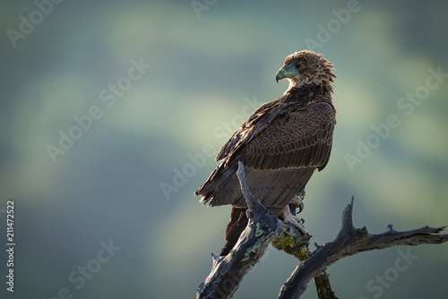 Tawny eagle perched on twisted dead branch Canvas Print