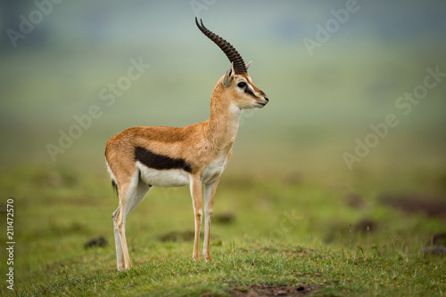 Thomson gazelle standing in profile on mound