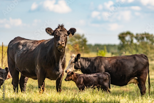 Commercial Angus cow herd - painting-like Fotobehang