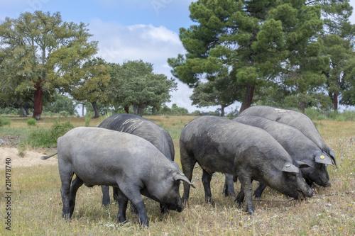 Foto  Cerdos ibéricos comiendo bellotas en un campo de encinas den Salamanca