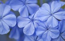 Flowering Blue Plumbago