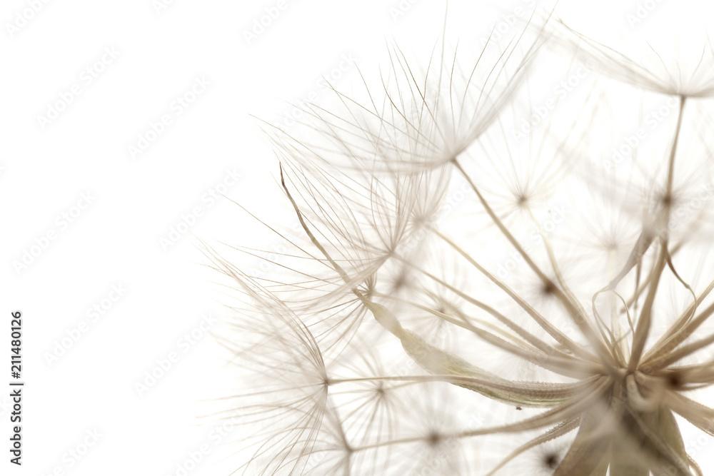 Fototapety, obrazy: Tragopogon, aka salsify