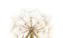 Delicate Seedhead Of Salsify