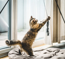 Fluffy Kitten Playing  With Cat Toy At  Window In A Cozy Bright Room