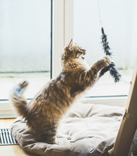 Siberian Cat Game.  Fluffy Kit...