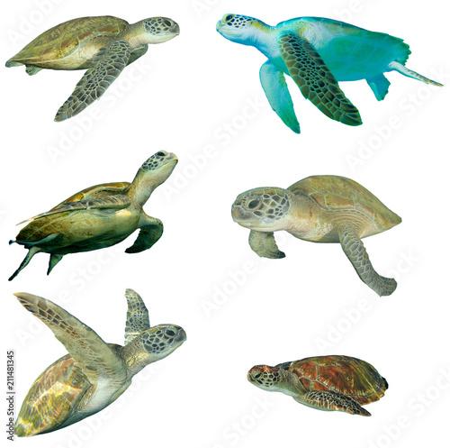 Sea Turtles isolated