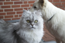 Persian Cat Portrait.