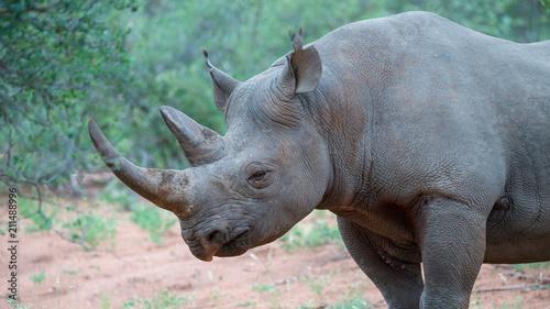 Fotobehang Neushoorn schwarzes Nashorn im afrikanischen Busch