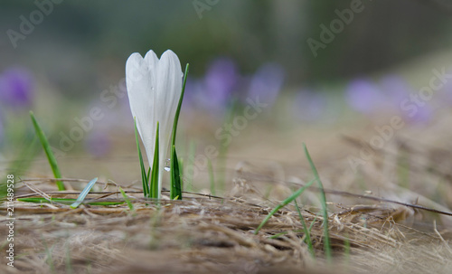 Staande foto Krokussen Blooming white crocus flower growing on the dry grass with waterdrops on the leaves. The first sign of spring. Seasonal spring background.