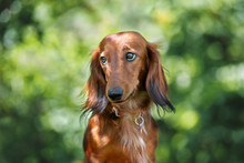 Funny Dachshund Dog Portrait Outdoors In Summer
