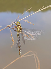 Dragonfly In Swamp