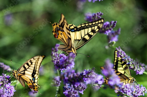 Fotomural Summer hot dance of butterfly swallowtail on a lavender field in sunny day