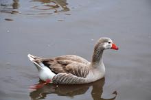 Greylag Goose Swimming On Lake