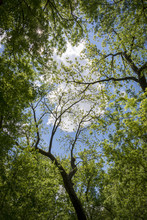 A Puffy White Cloud In The Sky Is Seen Through The Green Canopy Of Branches And Leaves.