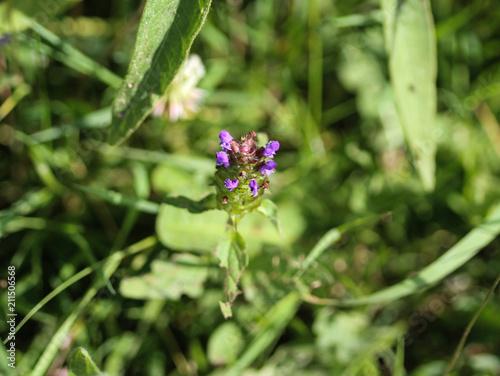 Prunella vulgaris flower, known as common self heal, heal