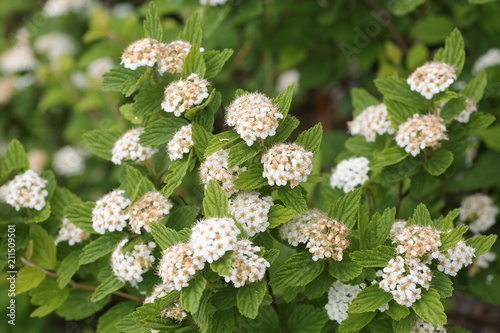 Photo  Spiraea dasyantha flower at Mt.Ibuki, Japan
