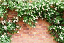 Brick Wall Framed By Climbing Roses