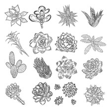Drawing Cactus Set. Succulent ...