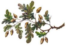 Watercolor Handsketched Oak Tr...