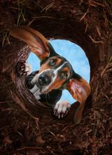 Curious Basset Hound Digging A...