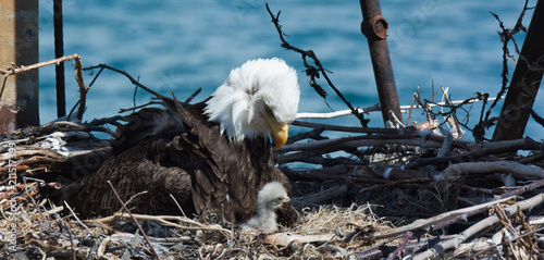 Mom and baby Bald Eagle Fototapet