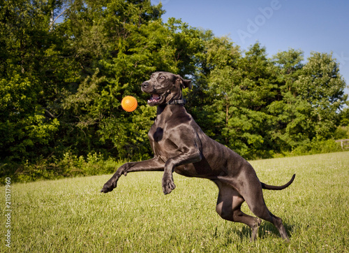 Photo A playful young great Dane leaps in the air after an orange ball in a picturesqu