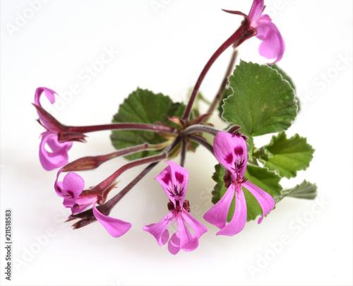 Kapland-Pelargonie, Umckaloabo, Pelargonium, reniforme,
