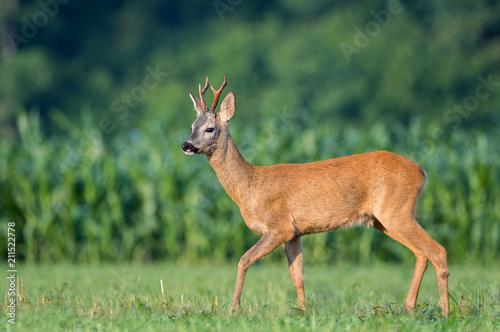 Spoed Foto op Canvas Hert Wild roe deer in a field