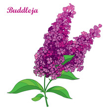 Vector Branch With Outline Pink Buddleja Or Butterfly Bush Flower Bunch And Ornate Leaf Isolated On White Background. Blooming Plant Buddleja In Contour Style For Summer Design.