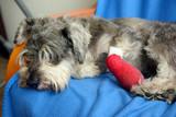 Fototapeta Zwierzęta - Ranny pies odpoczywa po zabiegu.