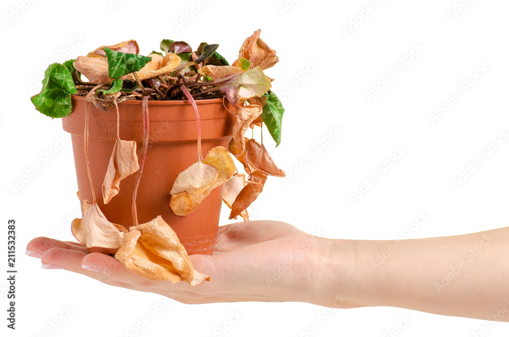 Fototapeta A dried plant in a pot in hand on a white background isolation