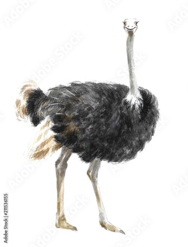 Stickers pour porte Autruche a watercolor illustration of an ostrich, an animal in Africa or a zoo