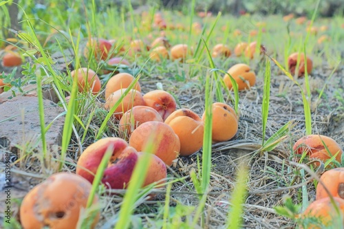 Fallen and rotten apricots on grass. Rural and summer concept