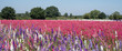 canvas print picture - Flower fields with colourful delphiniums, in Wick, Pershore, Worcestershire UK.