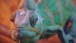 Amusing portrait of adult chameleon closeup.