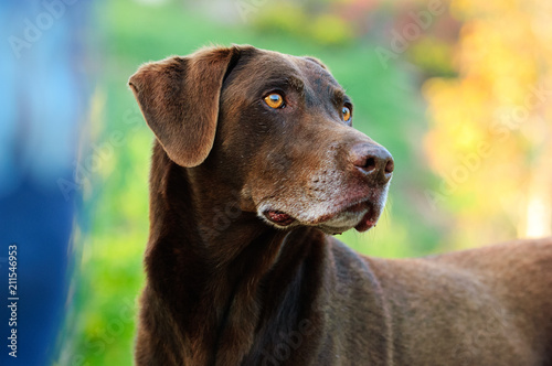 Chocolate Labrador Retriever dog portrait with colorful background Wallpaper Mural