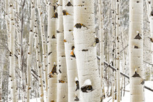 Aspen Grove Close Up In Winter With Some Snow