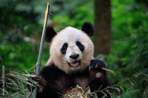 Poster Panda Panda Bear Munching/Eating Bamboo in Sichuan Province, China. Panda Wildlife Conservation