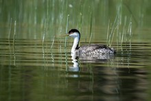 California Grebe Swimming In Lake With Green Reeds