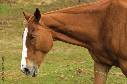 Close up on a brown horse with white streak down the middle of its face, chewing grass in a field in Jamaica