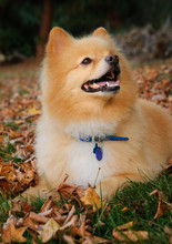 Pomeranian Dog Outdoor Portrait Lying Down In Grass With Fall Leaves