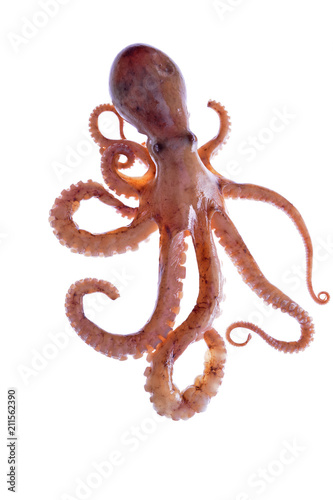 Fotografie, Tablou Octopus on a white background